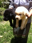 Purebred Labradors for sale