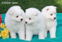 Samoyed puppies, 2 girls and 1