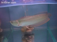 Silver arowana red tail